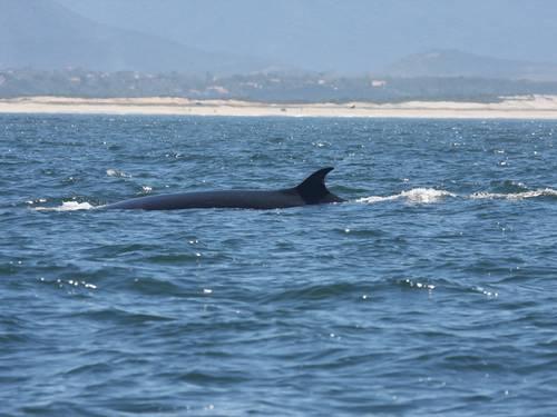 Baleias e orcas dão um 'rolezinho' pela orla de Maricá