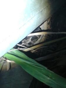 Uma cobra jararaca de aproximadamente um metro de comprimento foi encontrada na última terça-feira (22) em ponto de ônibus no loteamento Manu Manuela Village, em Maricá. O cantor Roberto Gimenez, de 27 anos, contou que estava com a sua mãe, por volta das 18h20, quando avistou a cobra venenosa. Ele conseguiu pegar um pequeno balde e a colocou dentro, acionando o Corpo de Bombeiros, que levou o animal. A cobra se escondeu debaixo de uma caixa d'água, próximo a um trailer abandonado, ao lado do canal que corta o loteamento. A Jararaca-da-mata (Bothrops jararaca) é uma serpente de até 1,6 m, encontrada no Brasil (da Bahia ao Rio Grande do Sul) e em regiões adjacentes no Paraguai e Argentina. Possui corpo marrom com manchas triangulares escuras, faixa horizontal preta atrás do olho, e região ao redor da boca com escamas de cor ocre uniforme. A espécie é responsável por grande parte dos acidentes ofídicos registrados em sua área de ocorrência. Sua cor é marrom com amarelo escuro com rajas pretas. Perigosíssima, prepara o bote ao ver se aproximar qualquer ser. Vive em ambiente preferencialmente úmidos, como beira de rios e córregos, onde também se encontram ratos e sapos, seus pratos mais caçados. Dorme durante o dia debaixo de folhagens secas e úmidas, e gosta de tomar sol, geralmente sol pós chuva.