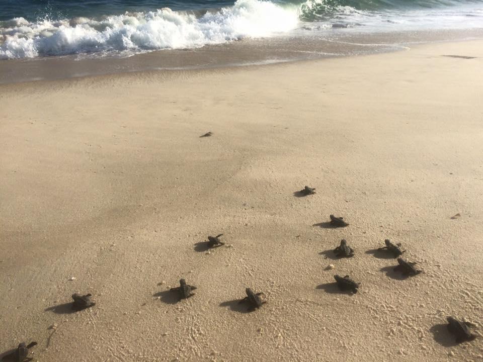turtles marica
