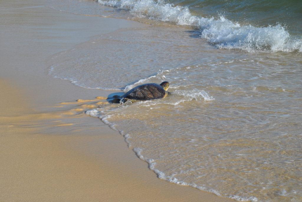 Maricá: Prefeitura realiza soltura de tartaruga marinha em Ponta Negra